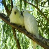 sulphur-crested_cockatoo_036