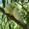sulphur-crested_cockatoo_037