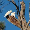 sulphur-crested_cockatoo_039