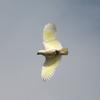 sulphur-crested_cockatoo_040