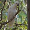 sulphur-crested_cockatoo_041