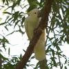 sulphur-crested_cockatoo_042