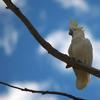 sulphur-crested_cockatoo_043