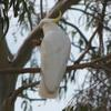 sulphur-crested_cockatoo_052