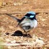superb_fairy-wren_025_t.jpg