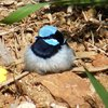superb_fairy-wren_029