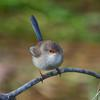 superb_fairy-wren_062