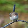 superb_fairy-wren_063