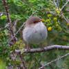 superb_fairy-wren_065