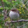 superb_fairy-wren_066