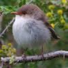 superb_fairy-wren_067