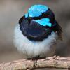 superb_fairy-wren_086