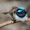 superb_fairy-wren_087