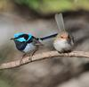 superb_fairy-wren_088