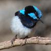 superb_fairy-wren_089