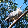white-faced_heron_058