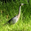 white-faced_heron_059