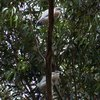 white-faced_heron_070