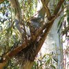 white-faced_heron_072
