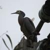 white-faced_heron_078