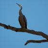 white-faced_heron_083