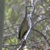 white-faced_heron_087