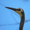 white-faced_heron_091