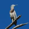 white-faced_heron_106