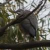 white-faced_heron_123