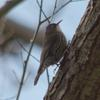 white-throated_treecreeper_016_t.jpg