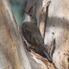 white-throated_treecreeper_018