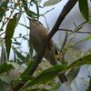 yellow-faced_honeyeater_011