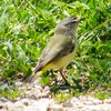 yellow-rumped_thornbill_011_t.jpg
