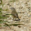 yellow-rumped_thornbill_010