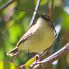 yellow-rumped_thornbill_024