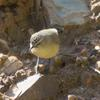 yellow-rumped_thornbill_025
