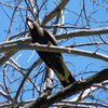 yellow-tailed_black-cockatoo_012