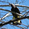 yellow-tailed_black-cockatoo_013