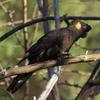 yellow-tailed_black-cockatoo_026