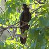 yellow-tailed_black-cockatoo_032