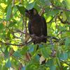 yellow-tailed_black-cockatoo_033