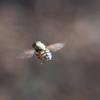 hoverfly_002_t.jpg