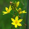 bulbine-lily_005