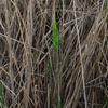 common_reed_004