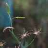 cotton_fireweed_007