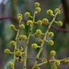 golden_wattle_002_t.jpg