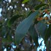 golden_wattle_030