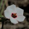 native_hibiscus_005