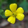native_buttercup_004