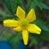 native_buttercup_005